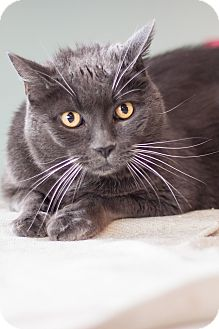 Domestic Shorthair Cat for adoption in Brimfield, Massachusetts - Mickey