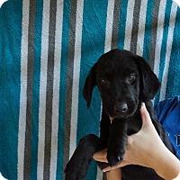 Adopt A Pet :: Lacy - Oviedo, FL