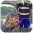Photo 1 - Shepherd (Unknown Type)/Pharaoh Hound Mix Dog for adoption in Riverside, California - Oso