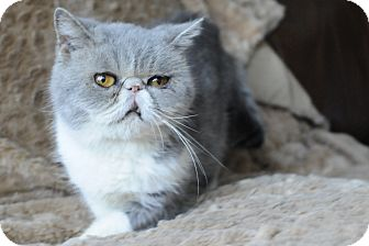 Exotic Cat for adoption in Columbus, Ohio - Nettie