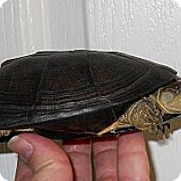 Adopt A Pet :: African Mud - Baltimore, MD