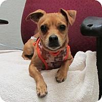 Adopt A Pet :: Tooter - Gilbert, AZ