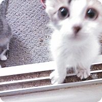 Adopt A Pet :: Gizmo's sister - Scottsdale, AZ