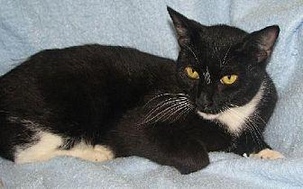 Domestic Shorthair Cat for adoption in Fort Walton Beach, Florida - Natalie