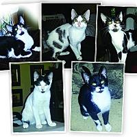 Adopt A Pet :: URGENT- Litter of 5 - Cranford, NJ