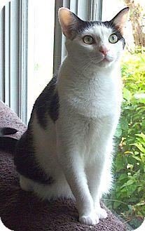American Shorthair Cat for adoption in Sautee, Georgia - Shiloh