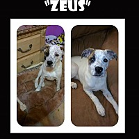 Bull Terrier Dog for adoption in Madison, Alabama - Zeus