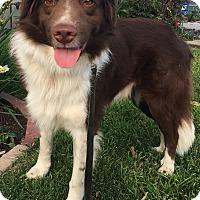 Adopt A Pet :: Cowboy Charlie - Van Nuys, CA