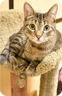 Domestic Shorthair Cat for adoption in Hillside, Illinois - Fritz -- FUN, PLAYFUL SWEETIE
