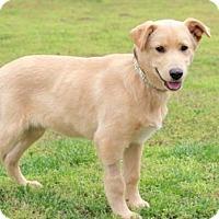 Adopt A Pet :: PUPPY ROCKY - Washington, DC
