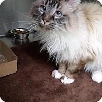 Adopt A Pet :: Sapphire *CL* - Independence, MO