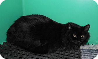 Maine Coon Cat for adoption in Laguna Woods, California - Midnight