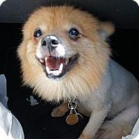 Adopt A Pet :: Pomcho - Temple City, CA