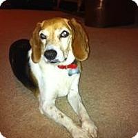Adopt A Pet :: Molly by Golly - Phoenix, AZ
