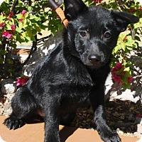 Adopt A Pet :: Arryn - Gilbert, AZ