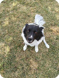 Border Collie Dog for adoption in Denver, Colorado - Shiloh