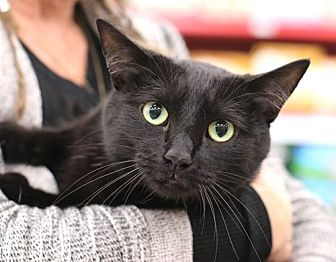 Domestic Shorthair Cat for adoption in Westchester, California - Taylor