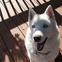 Adopt A Pet :: Dakota White Cloud - Horsham, PA
