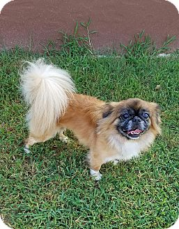 Pekingese Dog for adoption in San Antonio, Texas - Sonny