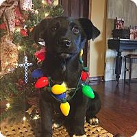 Adopt A Pet :: Dancer - Russellville, KY