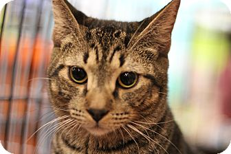 Domestic Shorthair Kitten for adoption in Marietta, Georgia - Markl