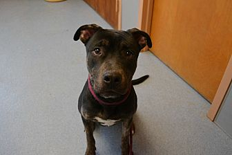 Rottweiler/Pit Bull Terrier Mix Dog for adoption in Bay Shore, New York - Shadow