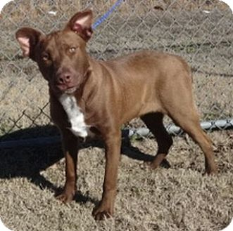 American Pit Bull Terrier/Labrador Retriever Mix Dog for adoption in Olive Branch, Mississippi - Auggie