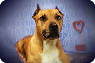 Pit Bull Terrier/Boxer Mix Dog for adoption in Los Angeles, California - SAWYER (video)