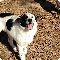 Border Collie/Australian Shepherd Mix Dog for adoption in Warrenton, North Carolina - Lacy