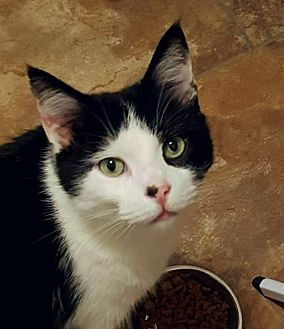 Domestic Shorthair Cat for adoption in Brownsboro, Alabama - Green Eyes