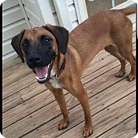 Adopt A Pet :: Higgins aka Eenie - Woodbridge, VA