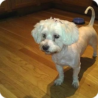 Maltese Mix Dog for adoption in Romeoville, Illinois - *ADOPTED* Lola