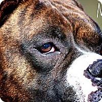 Adopt A Pet :: Major - Albany, NY