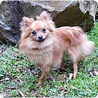 Adopt A Pet :: Puff - Mocksville, NC