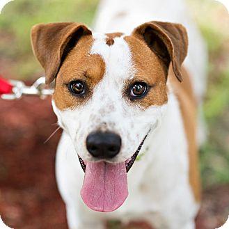 Pointer/Spaniel (Unknown Type) Mix Dog for adoption in Houston, Texas - Henry