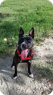 Labrador Retriever Mix Dog for adoption in Charlotte, North Carolina - Roxie