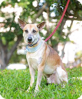 Labrador Retriever/Collie Mix Dog for adoption in Castro Valley, California - Buster