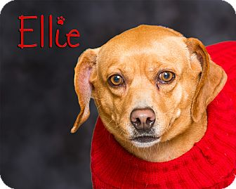 Dachshund Mix Dog for adoption in Somerset, Pennsylvania - Ellie