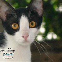 Domestic Shorthair Cat for adoption in Belle Chasse, Louisiana - Spaulding