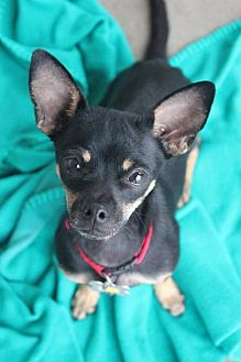 Miniature Pinscher/Chihuahua Mix Dog for adoption in Phoenix, Arizona - Toby