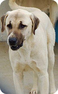 Anatolian Shepherd Dog for adoption in Joplin, Missouri - Layla