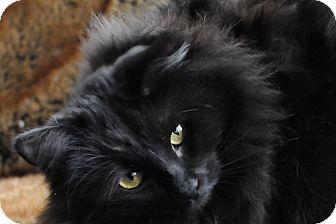 Persian Cat for adoption in Columbus, Ohio - Opal