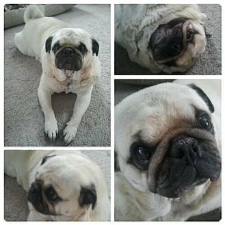 Pug Dog for adoption in Eagle, Idaho - Caesar