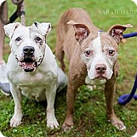 Adopt A Pet :: Foxy and Roxy - Reisterstown, MD