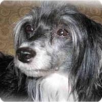 Adopt A Pet :: Shadow (NC) - Gilford, NH
