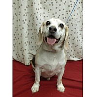Adopt A Pet :: Capone Hughes - Waldorf, MD