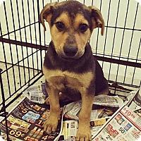Adopt A Pet :: Sweetie Shepherd boy - Pompton Lakes, NJ