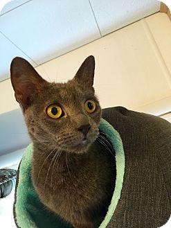 Domestic Shorthair Cat for adoption in Hanna City, Illinois - Madison-adoption pending