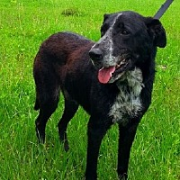 Labrador Retriever/Pointer Mix Dog for adoption in Simsbury, Connecticut - Abel