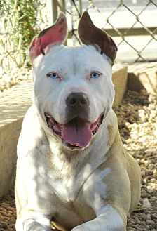 Pit Bull Terrier Mix Dog for adoption in West Babylon, New York - Gracie